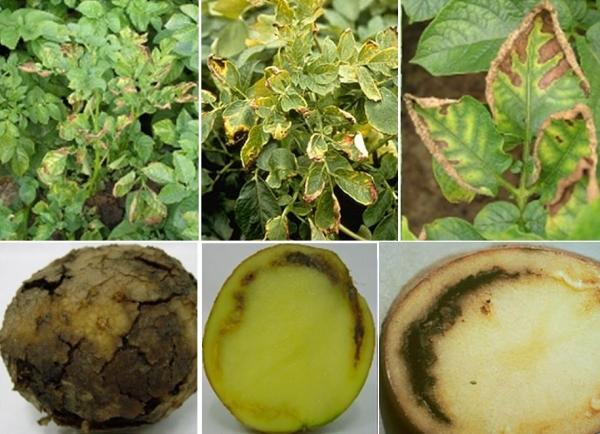 фото всех симптомов макроспориоза картофеля