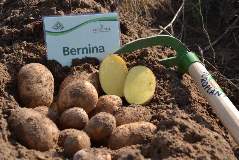 фото сорта картофеля бернина