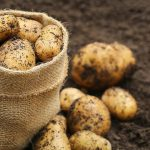 как получить два урожая картошки в год