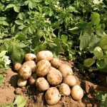 фото как правильно удобрять картошку калием