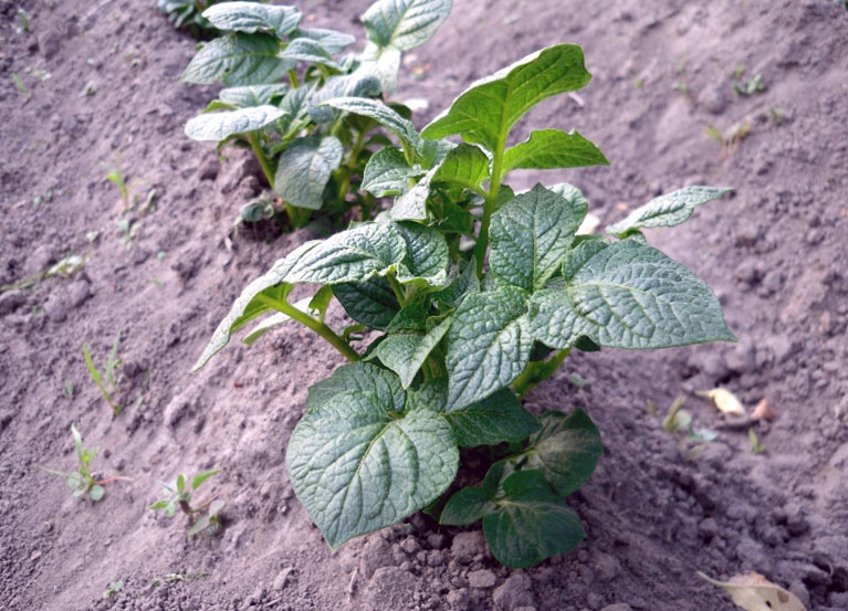 как калийные удобрения способствуют росту картофеля