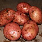 фото брянской красной картошки