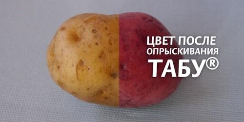 фото обработанного табу клубня картофеля
