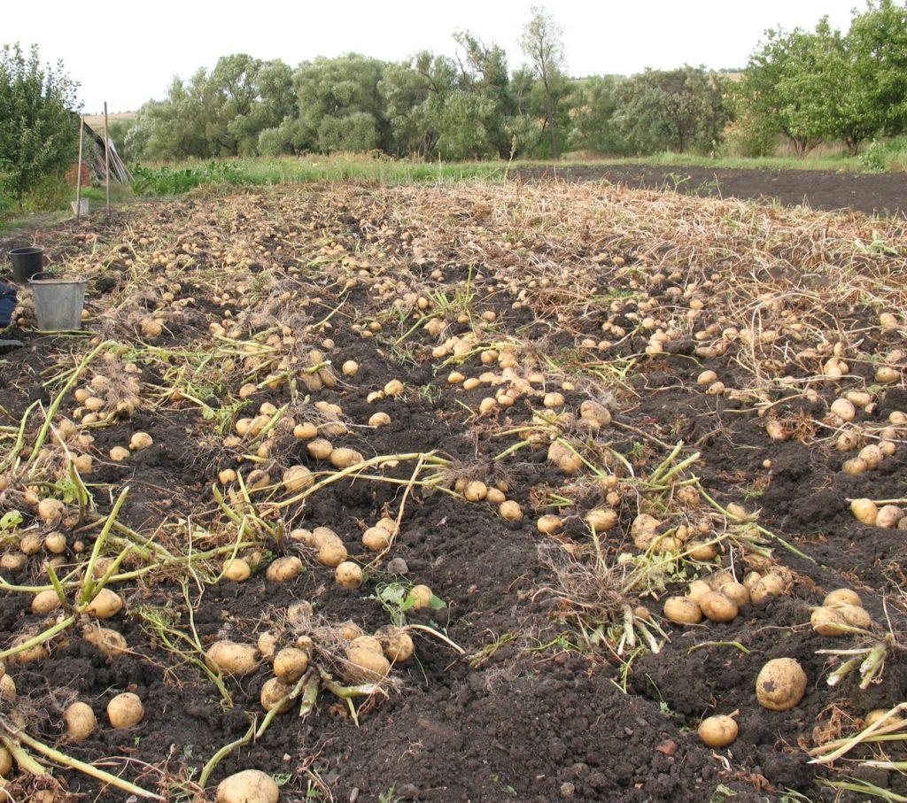 фото сбора первого урожая перед посадкой второго картофеля в июне