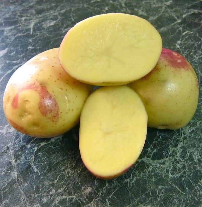 фото сорта картофеля Бонни