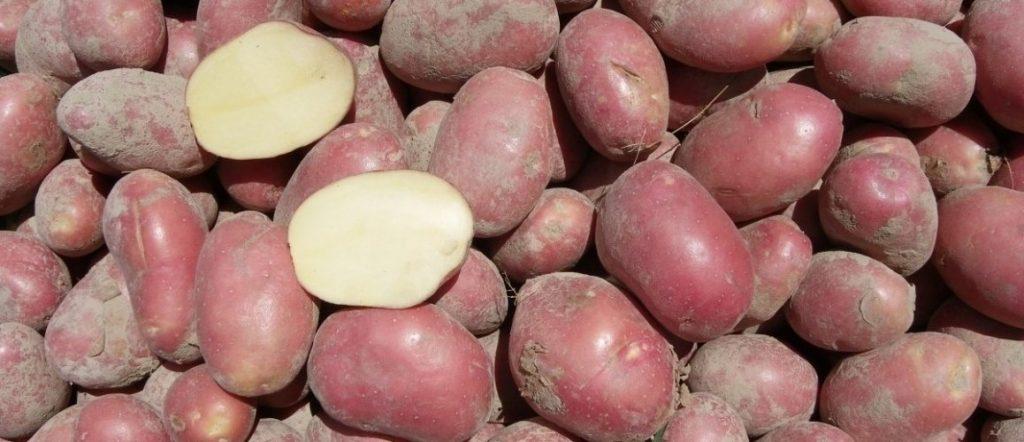 фото сорта картофеля борус 2