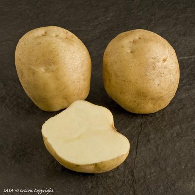 сорт картофеля брук фото