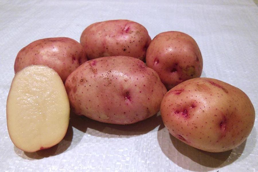 фото сорта картофеля брянский красный