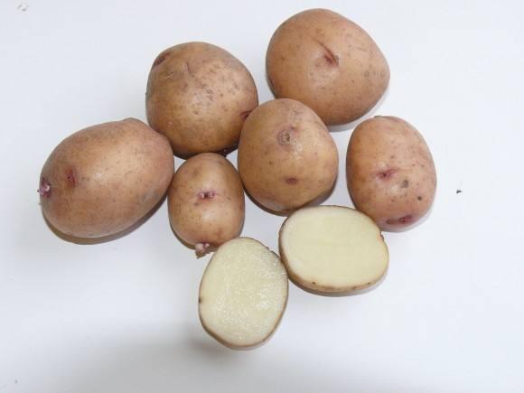 фото сорта картофеля Бурновский