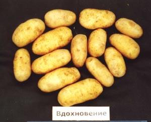 фото сорта картофеля вдохновение