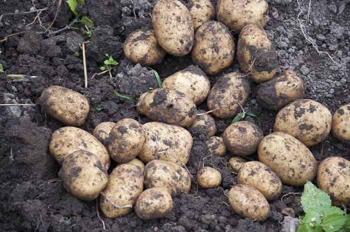 правильное время сбора урожая картошки