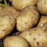 фото брянской ранней картошки