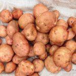 фото картошки, которую не ест колорадский жук