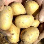 фото картошки веснянка