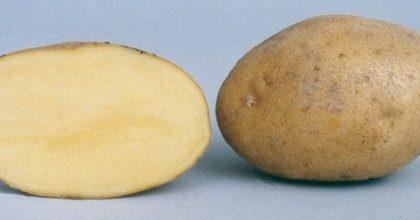 фото картошки Виктория