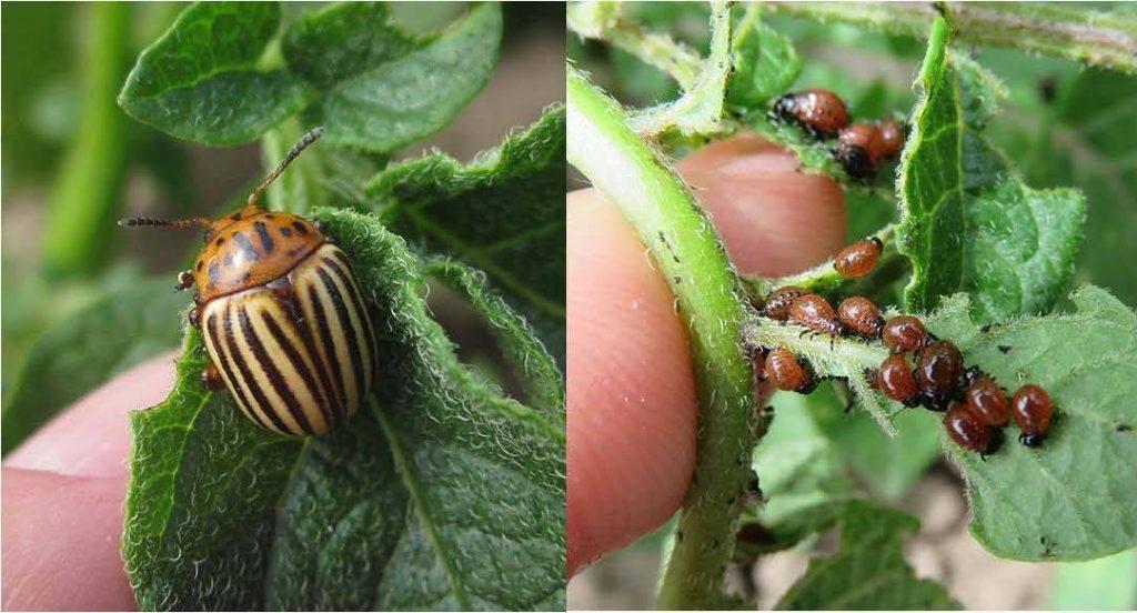 фото колорадского жука и его личинки