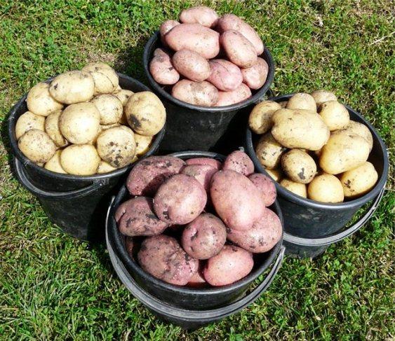 фото правильно выращенной картошки