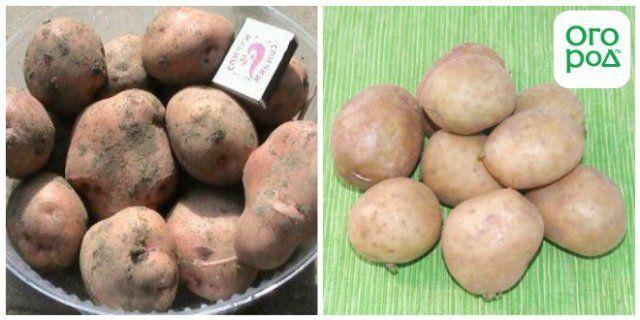 фото сорта картофеля брянский надежный