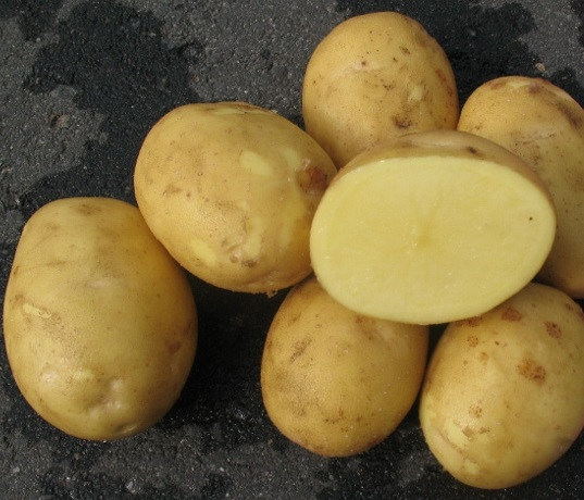 фото сорта картофеля брянский юбилейный