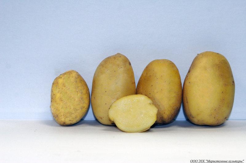 фото сорта картофеля Вершининский
