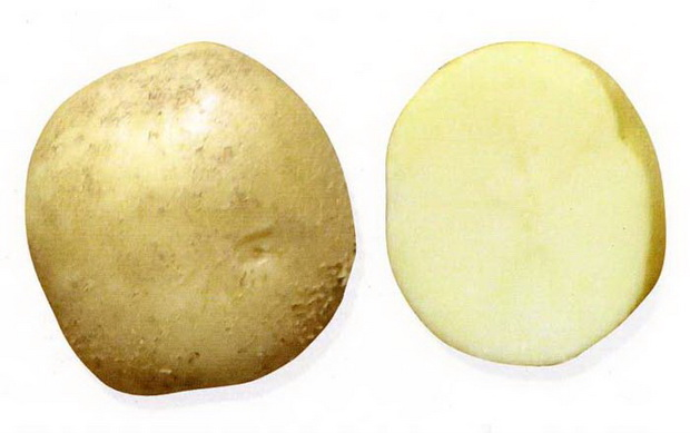 фото сорта картофеля вестник