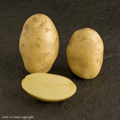фото сорта картофеля Виктория
