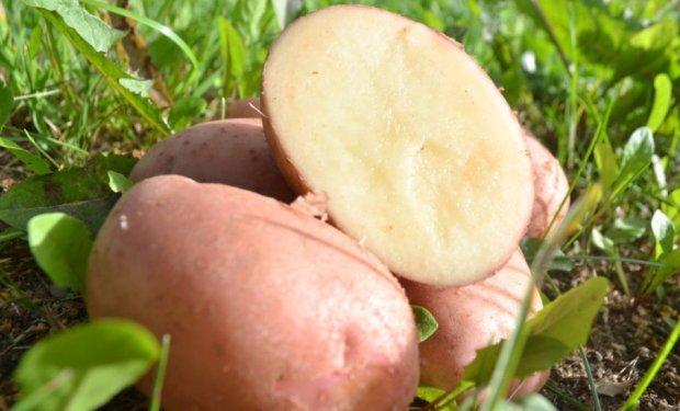фото сорта картофеля виза