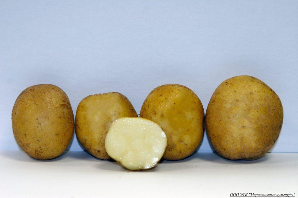 фото сорта картофеля волжанин