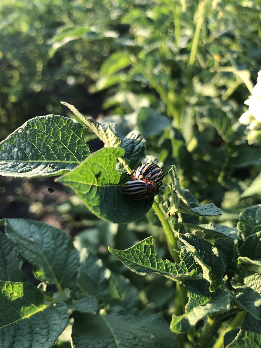 фото спаривания колорадских жуков