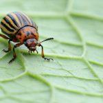 фото как выглядит колорадский жук