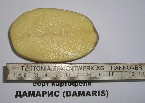 картошка Дамарис фото