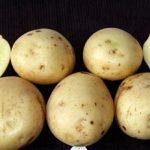 картошка Даная