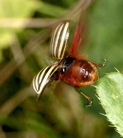 фото колорадского жука в полете
