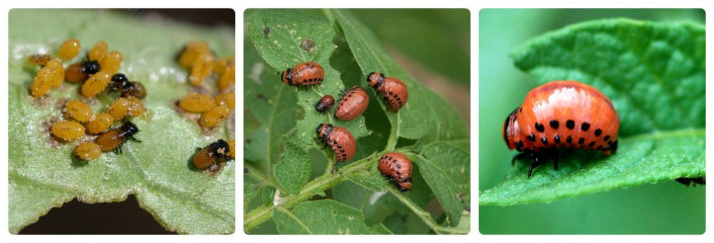 фото стадий развития личинки колорадского жука