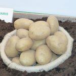 фото сорта картофеля Дамарис