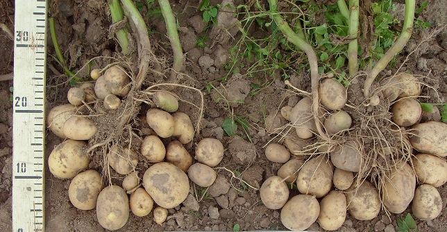 фото сорта картофеля Даная