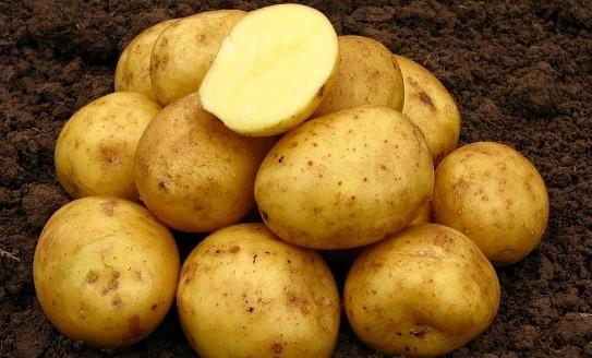 фото сорта картофеля Даренка