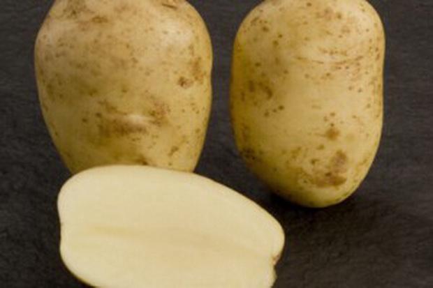 фото сорта картофеля Дарковичский