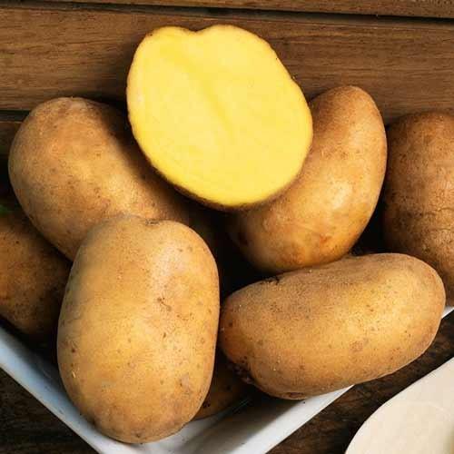 фото сорта картофеля гарант
