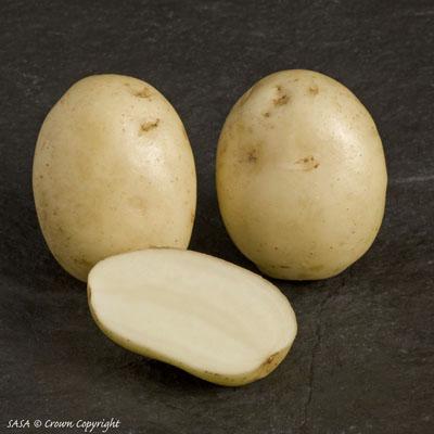 фото сорта картофеля велор