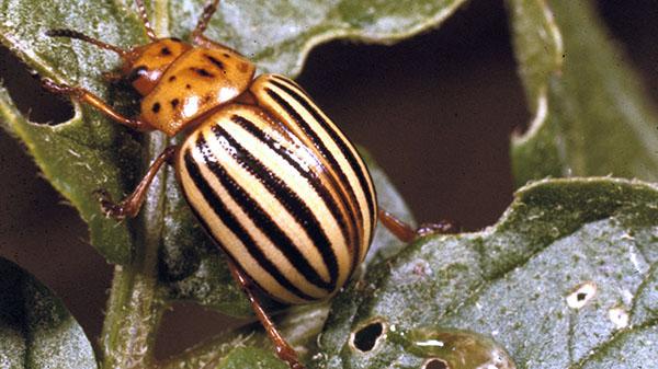 фото взрослого колорадского жука