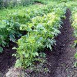как правильно удобрять картошку азотом и фосфором