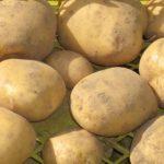 фото картошки десница