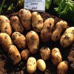 фото картошки дидо