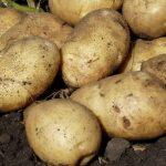 фото картошки Дина