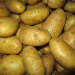 фото картошки Дитта