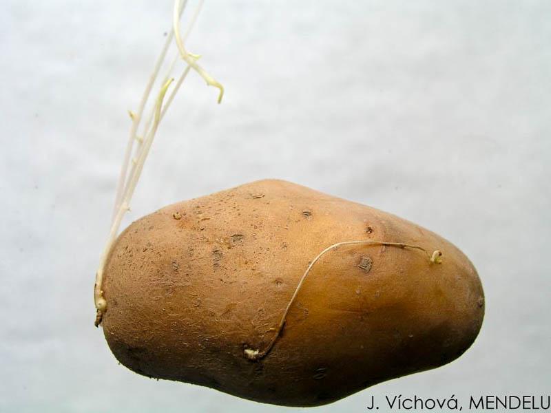 фото тонких ростков у картофеля