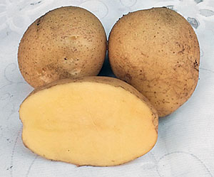 фото сорта картофеля дачный