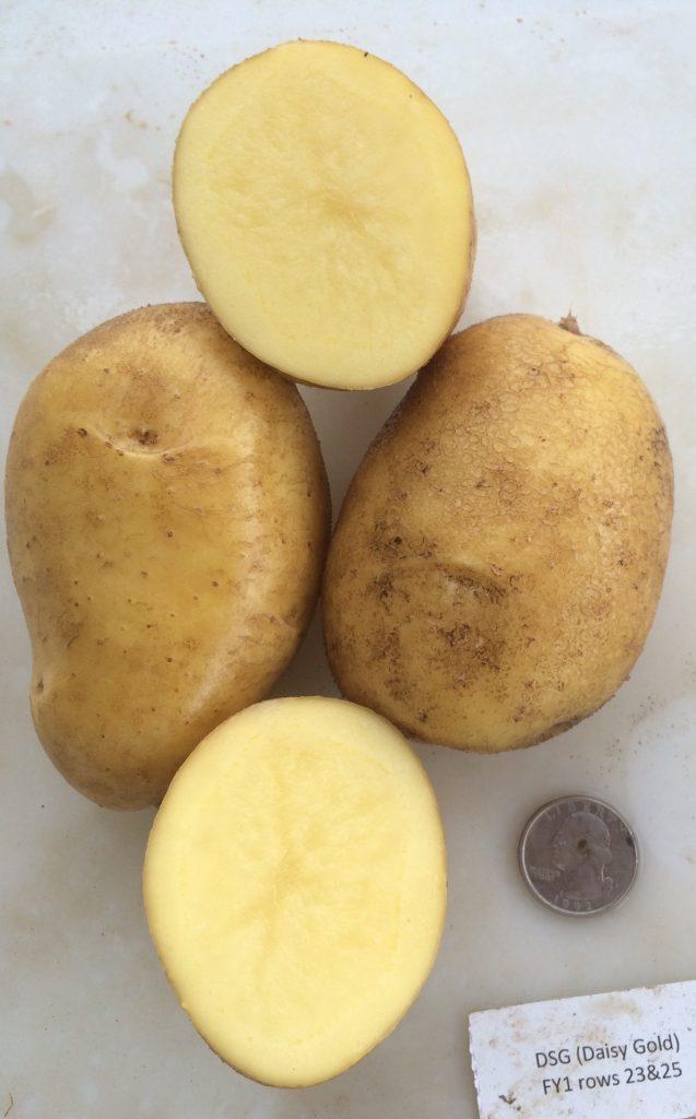 фото сорта картофеля Дейзи