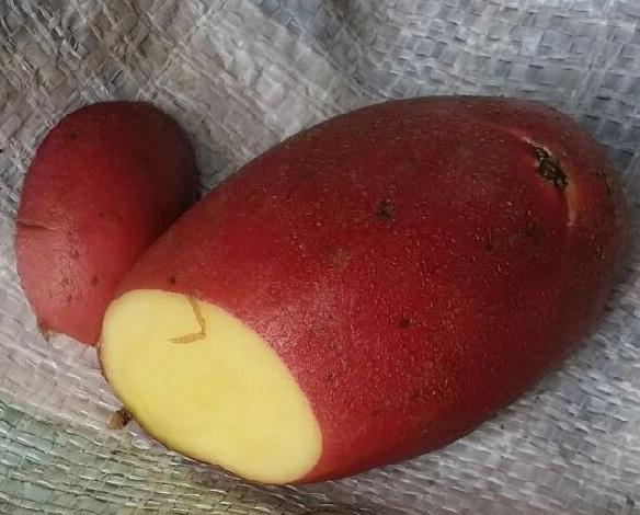 фото сорта картофеля Дельфине